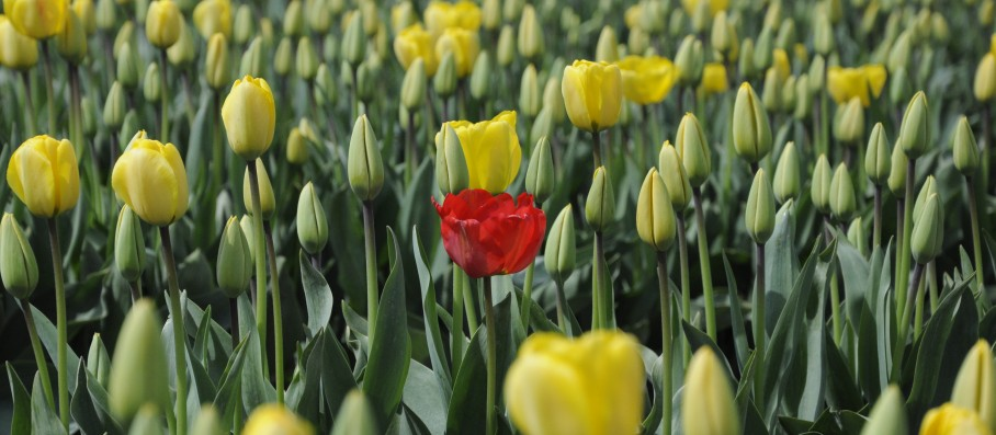 Authentic Red Tulip